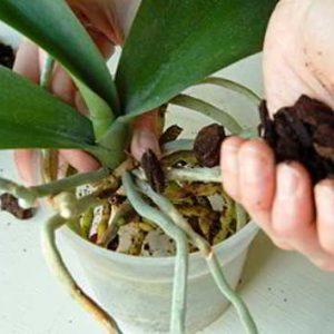Пошаговое руководство по пересадке орхидей