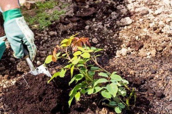 пересадка роз осенью на другое место подготовка места