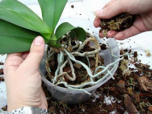 правильный уход за комнатной орхидеей