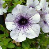 фото петунии цветы