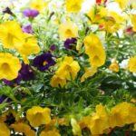 цветы петуния фото на балконе