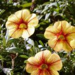 цветы петуния ампельная фото