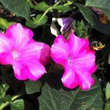 цветы петуния посадка и уход фото