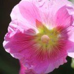 цветы петуния фото цена