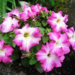 цветы петуния фото посадка в грунт