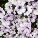 цветы петуния фото сорта