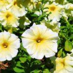 цветы петуния фото и описание