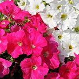 цветы петуния фото описание