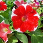 петуния фото цветов уход