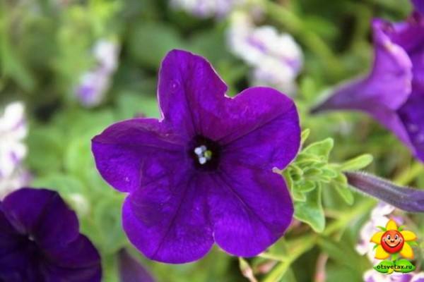петуния уход и выращивание в домашних условиях в таблетках