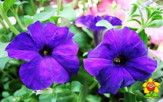петуния уход и выращивание в домашних условиях ютуб