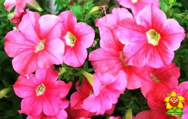 петуния выращивание и уход в домашних условиях в квартире