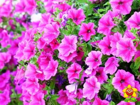 петуния уход и выращивание в домашних условиях кормление