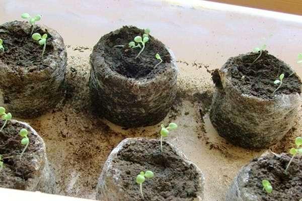 петуния выращивание