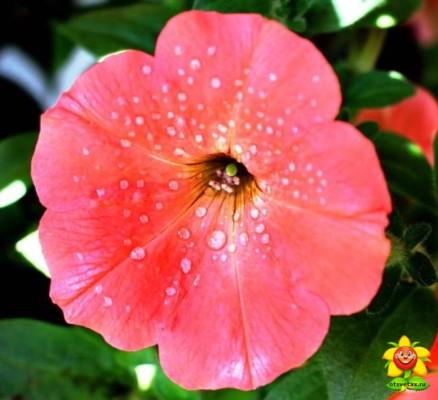 петуния уход и выращивание в домашних условиях температура