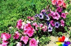 Как вырастить петунию из семян, когда сажать в открытый грунт