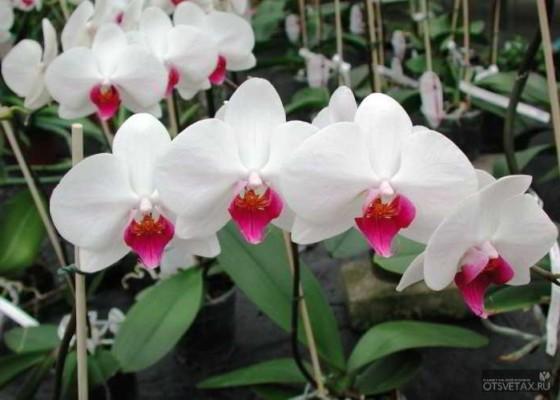 орхидея фаленопсис уход в домашних условиях после цветения