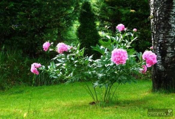 пионы пересадка летом