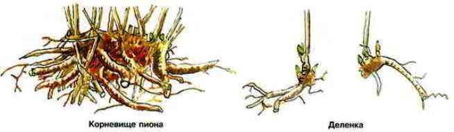 пион размножение