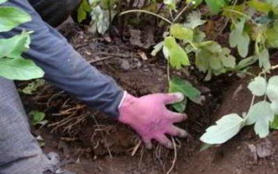 Как правильно пересаживать пионы осенью