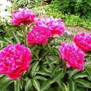 Пионы: правила посадки и ухода за растением в открытом грунте