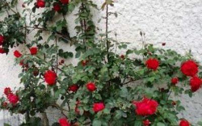 плетистые розы цветущие все лето сорта зимостойкие