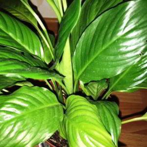 Почему спатифиллум не цветёт в домашних условиях, что делать?
