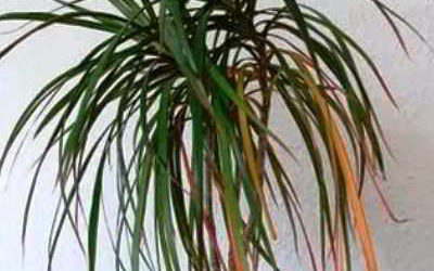 Желтеют листья драцены: причины и устранение проблемы
