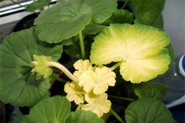 почему желтеют листья у герани
