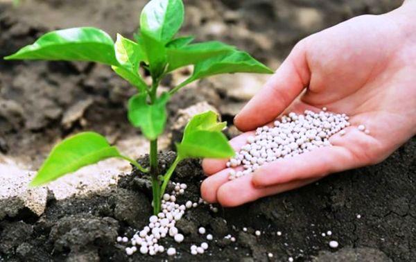 перец рассада выращивание подкормка