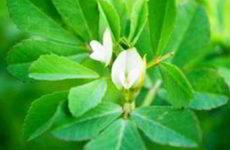 Пажитник (шамбала, хельба): полезные и лечебные свойства, противопоказания