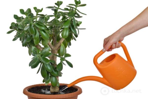 как поливать денежное дерево в домашних условиях