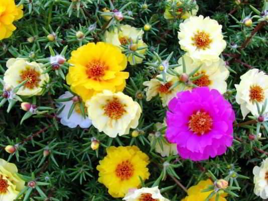 цветы портулак фото