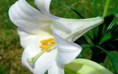 Когда лучше сажать лилии весной или осенью?