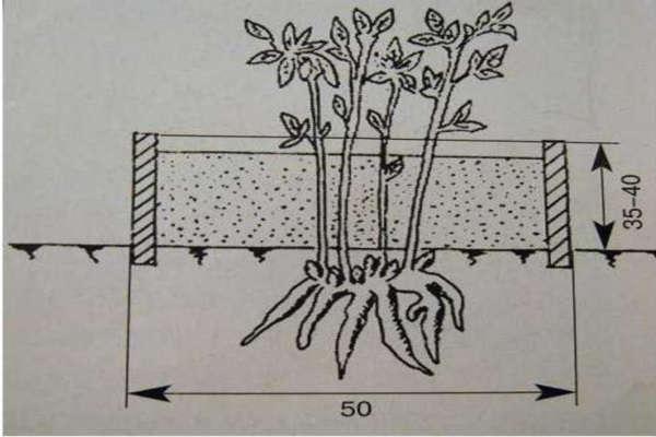 время посадки пионов осенью в грунт