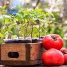 Когда надо сажать на рассаду помидоры в 2017 году