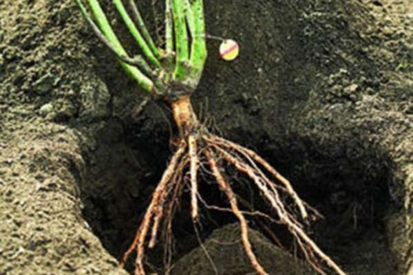 посадка кустов роз с открытой корневой системой осенью