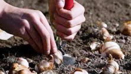 Сажаем осенью тюльпаны в Подмосковье
