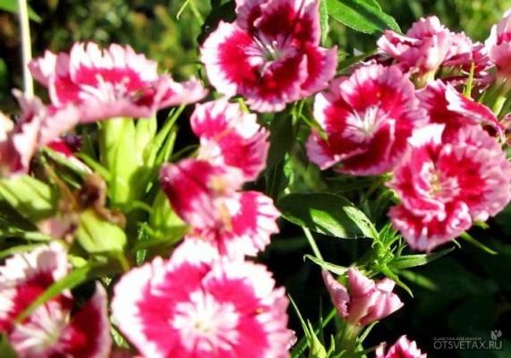 гвоздика садовая многолетняя посадка и уход фото виды