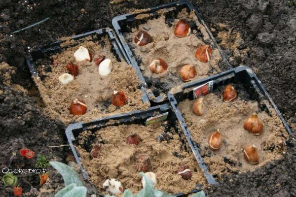 посадка тюльпанов осенью в корзины