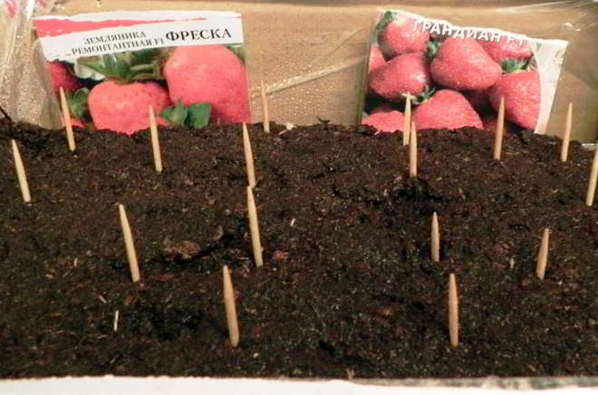 посадка земляники семенами