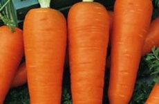 Посадка моркови осенью под зиму: оптимальные сроки, сорта, уход