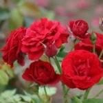 осеннее укрытие роз на зиму