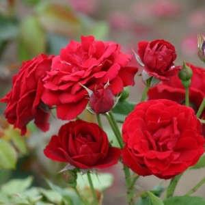 Укрытие роз на зиму: технология и особенности для разных видов и регионов