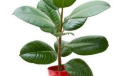 Фикус: уход в домашних условиях, тонкости выращивания, пересадки, размножения