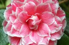 Камелия: уход и выращивание в домашних условиях, цветение, камелия зимой