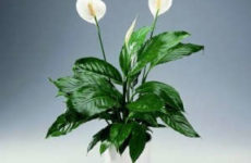 Спатифиллум: уход в домашних условиях, почему цветок называют «женское счастье»