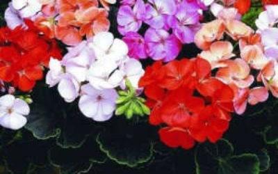 Размножение герани (пеларгонии) черенками в домашних условиях, способы и методика