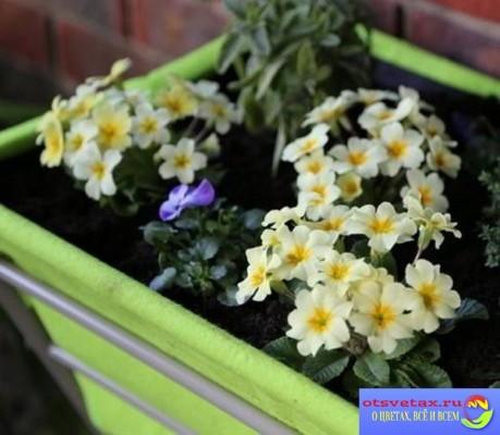 примула выращивание из семян в домашних условиях с фото