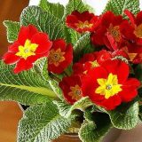 цветы фото комнатные цветущие